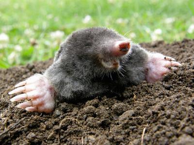 Niedlich aber nervig: So vergraulen Sie den Maulwurf aus Ihrem Garten, ©Fotolia santia3