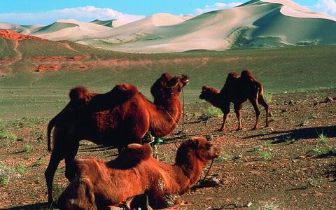 Kamele in der Wüste Gobi