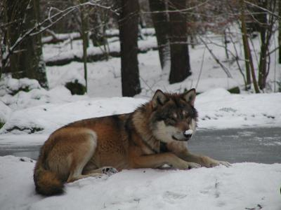 Wildpark MV Wolf im Winter. Foto: R. M. Weisner