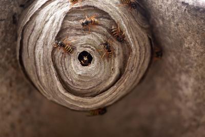 Bei der Beseitigung von Wespen- oder Hornissennestern gibt es spezielle Vorschriften. Weitere Tipps rund ums Zuhause gibt es unter www.bauemotion.de / Bild: ©123RF.com