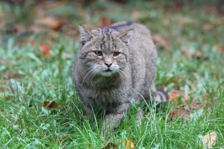 Wildpark MV Europäische Wildkatze (Bild: Wildpark-MV)