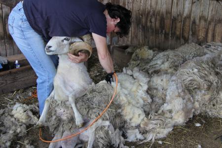 Wenn Schafe zum Friseur gehen