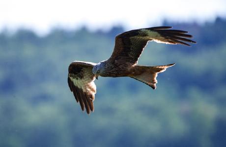 Foto: Naturschutzinitiative e.V. (NI), Rotmilan (Milvus milvus)