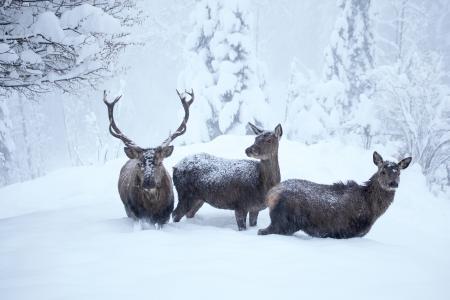 Hirsche im Schnee: Ruppbilder, Adobe Stock