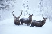 Hirsche im Schnee Rupbilder