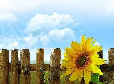 Sonnenlicht - Sonnenblume