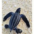 Heute ist Welttag der Meeresschildkröten