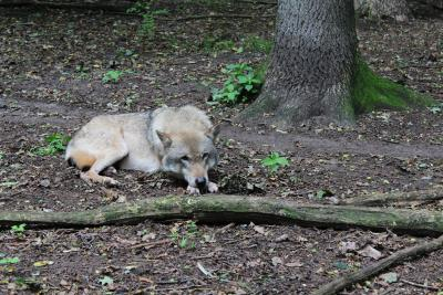 Wölfe im Gehege