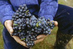 Weinfreunde erwartet toller Jahrgang