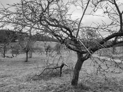 Das Förderprogramm unterstützt die Neuanlage und Erhaltung von Streuobstwiesen und Obstbaumalleen und hilft dabei, entstandene Schäden auszugleichen (Foto: Vogelsbergkreis/Christian Lips)