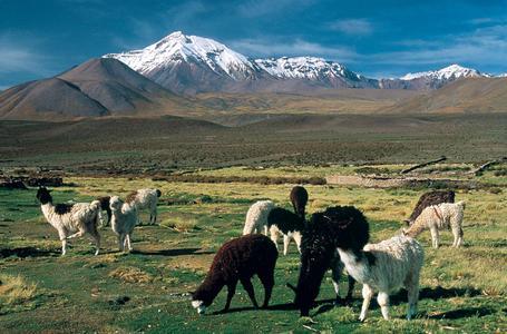 Alpacas aus dem Altiplano, Chile