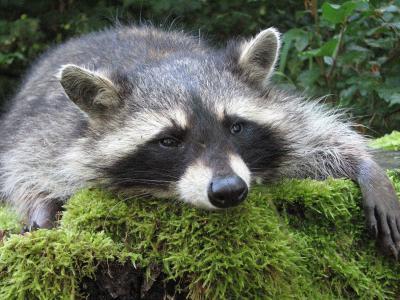 Possierliches Tierchen oder Plagegeist? Im Vogelsbergkreis mehren sich jedenfalls Klagen und Beschwerden, weil die Tiere Schaden anrichten / Foto: Leinberger