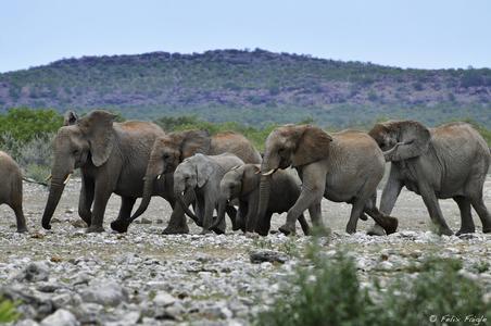ElefantenBotwana(c)FelixFaigle,KarawaneReisen.jpg