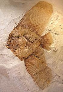 Mineralientage München zeigen den Engelsfisch aus Verona