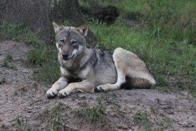 Wolf, Foto: Wildpark-MV